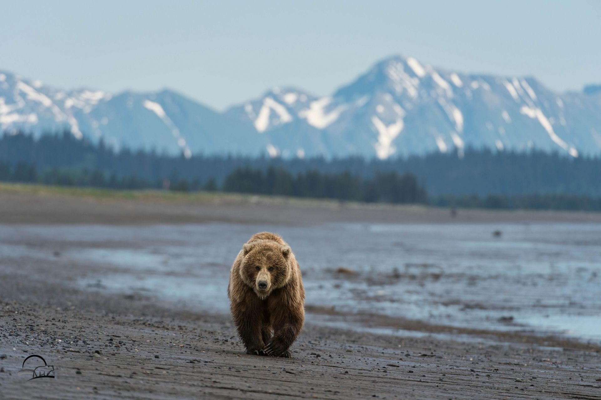 Alaskan Brown Bear Silhouetted Against Mount Katolinat, Alaska  № 1442490  скачать