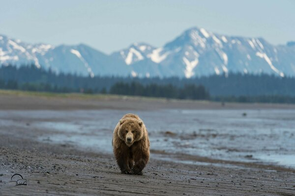 bear mountain bear Alaska beach