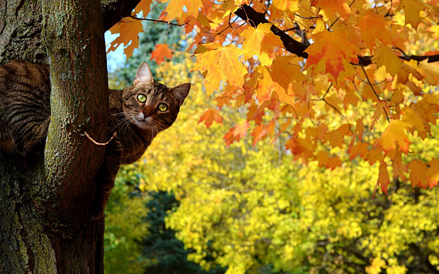Kote autumn leaves maple tree, cat - Android wallpapers