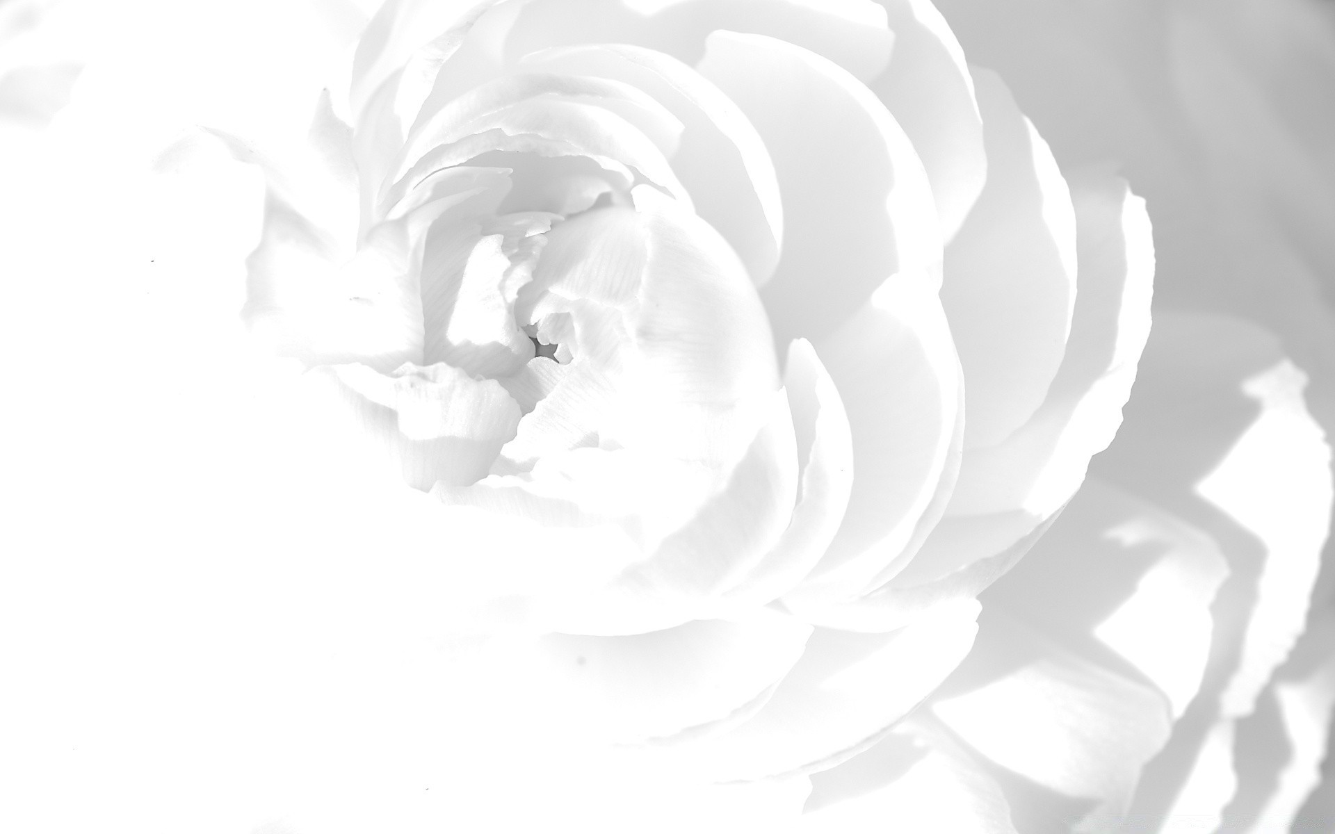 White Peony Android Wallpapers For Free