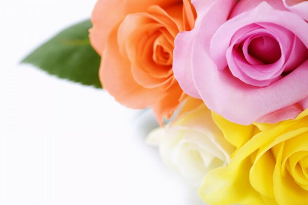 Different Colours Roses