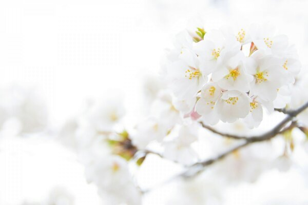 White Cherry Plum Flowers