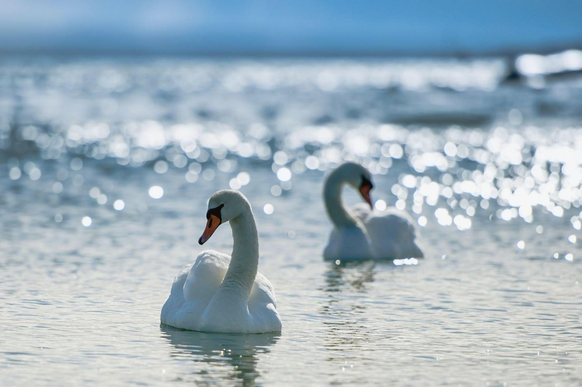 белый лебедь бесплатно
