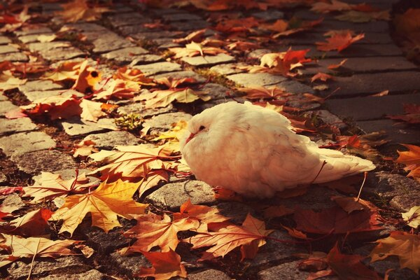 White Dove Autumn