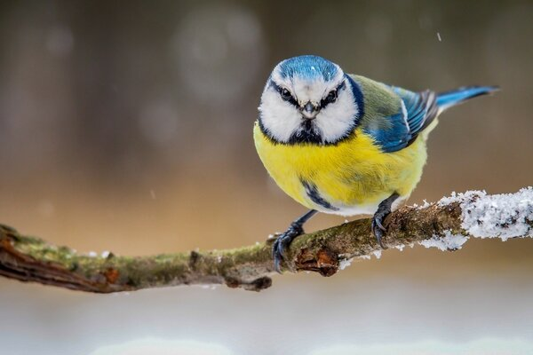 Blue Yellow Bird