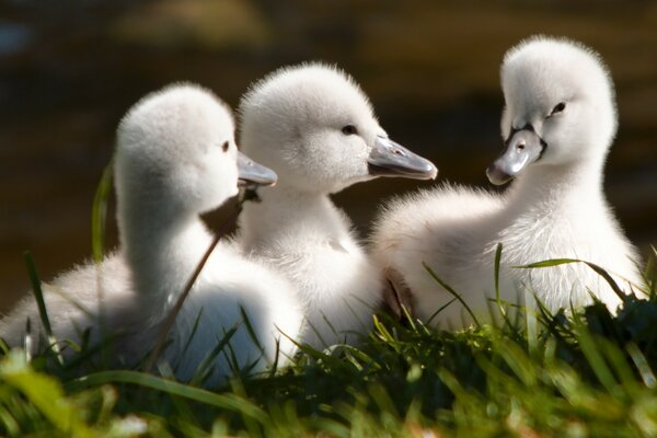 Sweet Baby Swans