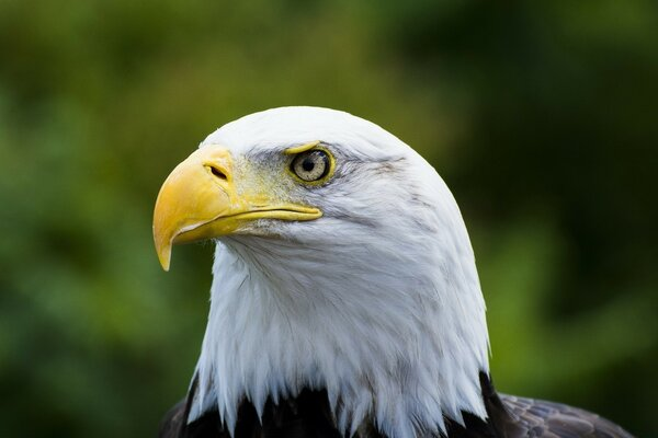 Bald Eagle Yellow Beak
