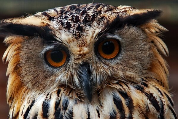 Owl Predator Close Up