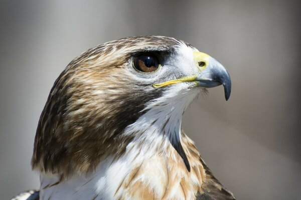 Hawk Profile View