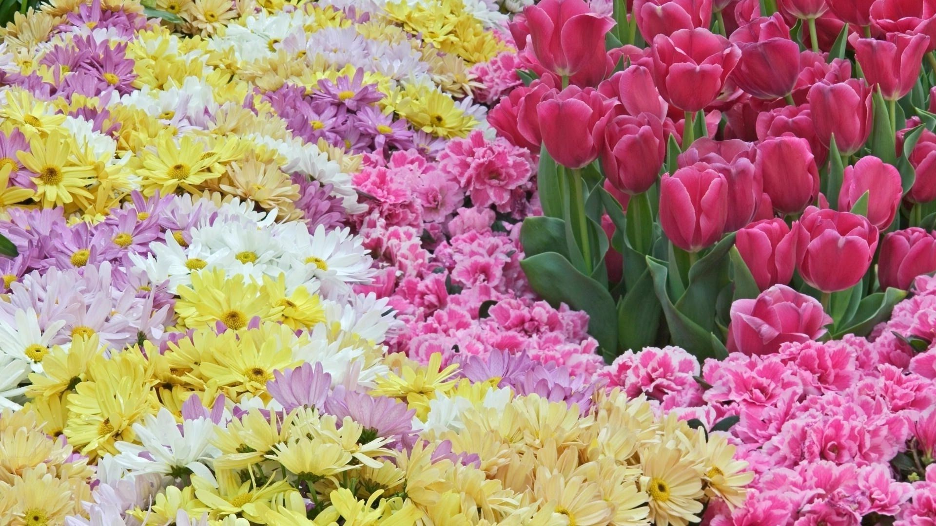 spring chrysanthemum Flowers many pink tulips