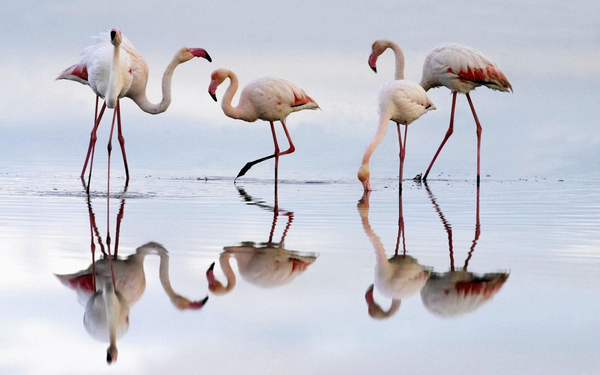 flamingo bird wildlife animal nature wild neck feather beak water stork wing outdoors flight lake