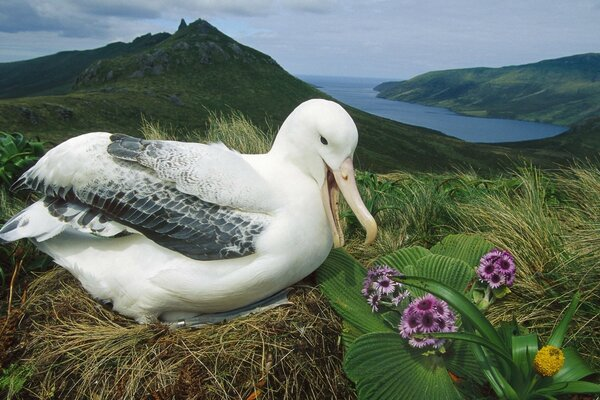 Royal Albatross Campbell Island New Zealand