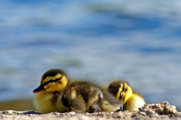 Ducklings Close Up