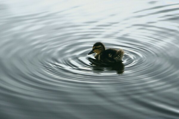 Duckling On Water