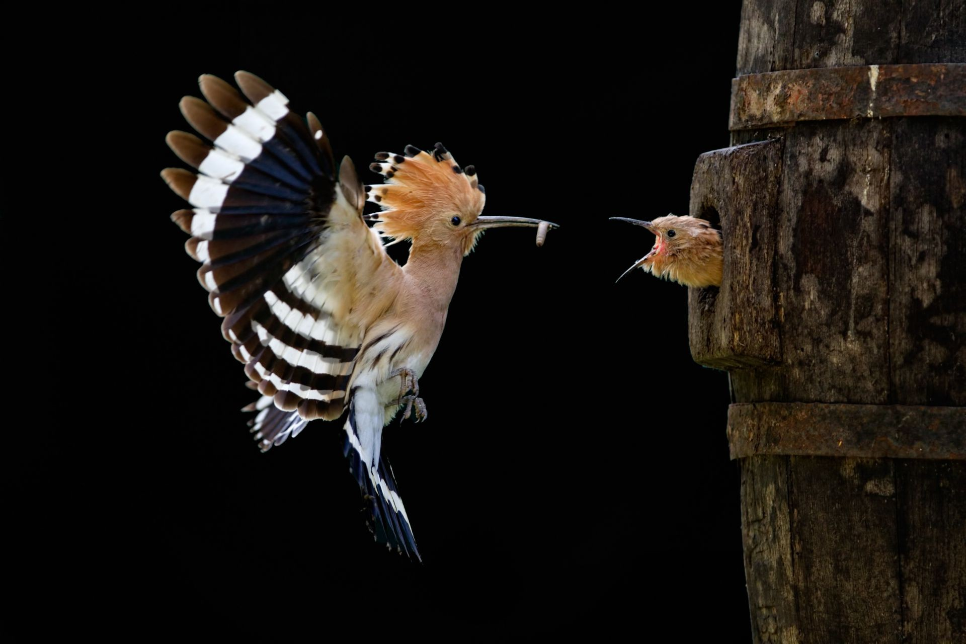 the hoopoe bird flying chick