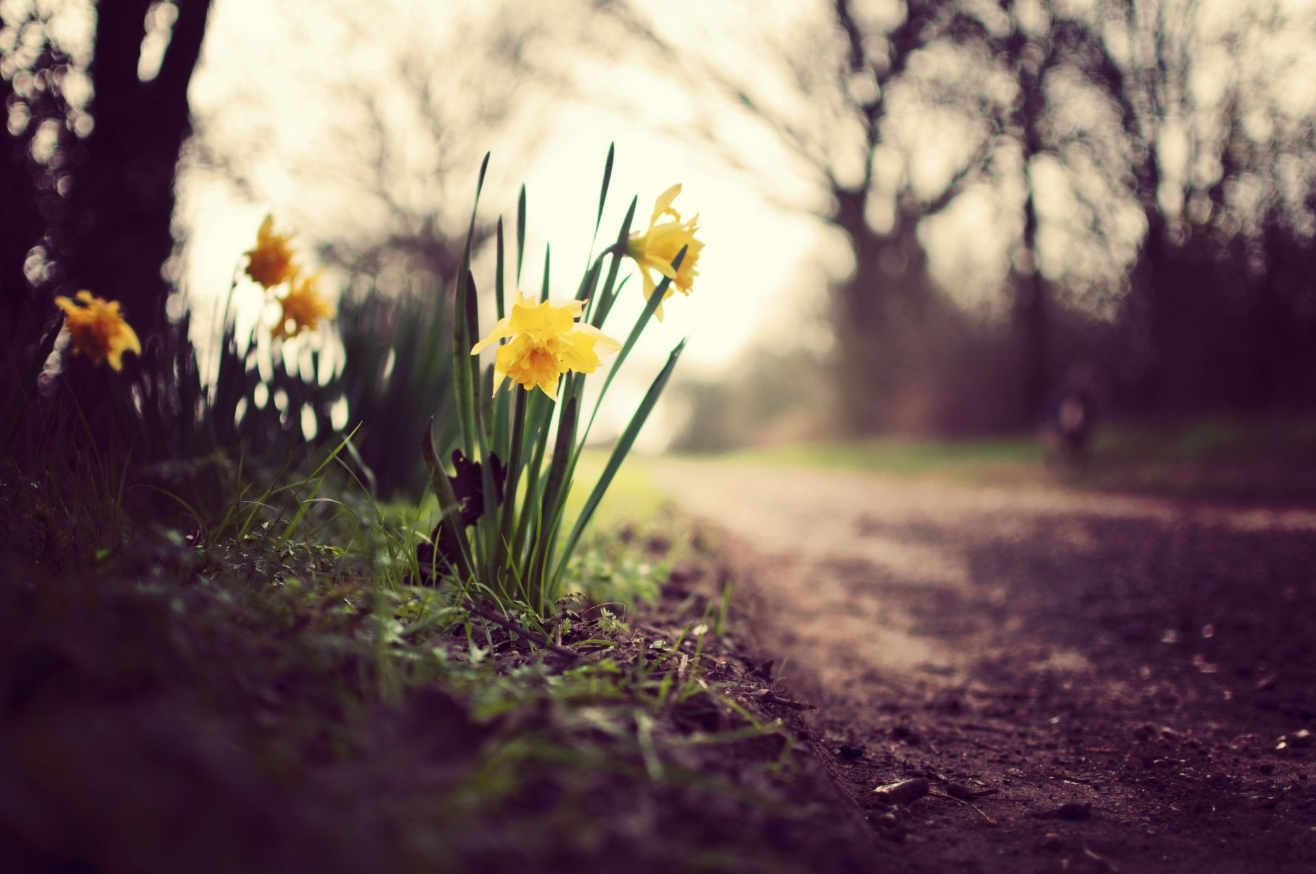 plants flowers Daffodils leaves the grass greens the earth