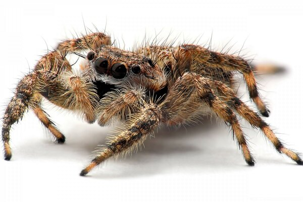 Tarantula Spider Close Up