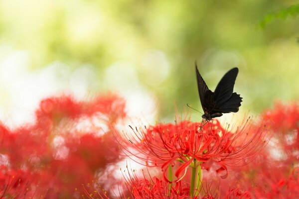 Black Swallowtail Butterfly and Red Spider Lily