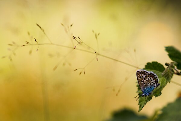 Brown and Blue Butterfly