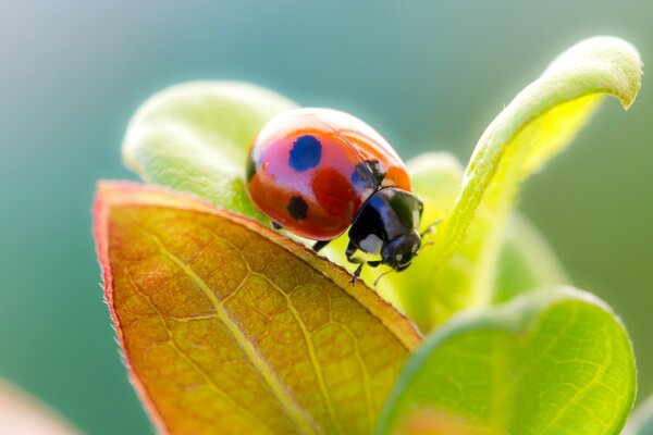 Ladybug On Leaf Top