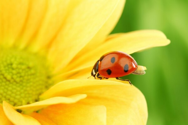 Ladybug On Yellow Flower, Macro