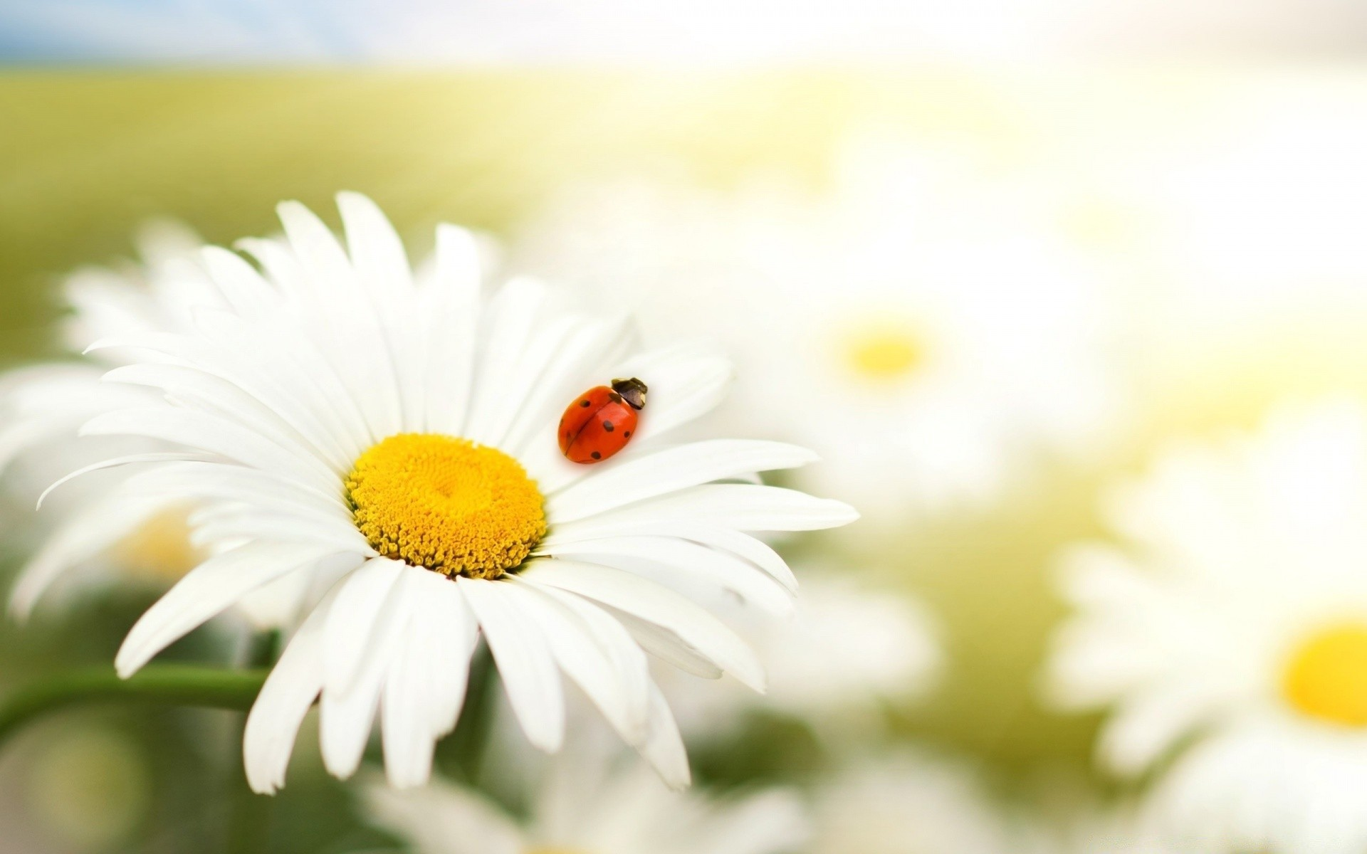 ladybug on a daisy. iphone wallpapers for free.