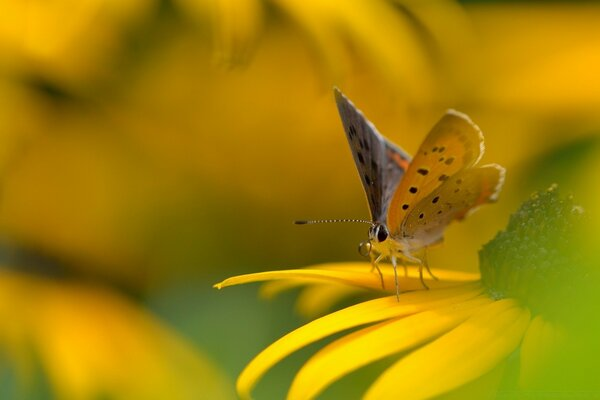 Butterfly On Yellow Flower Macro