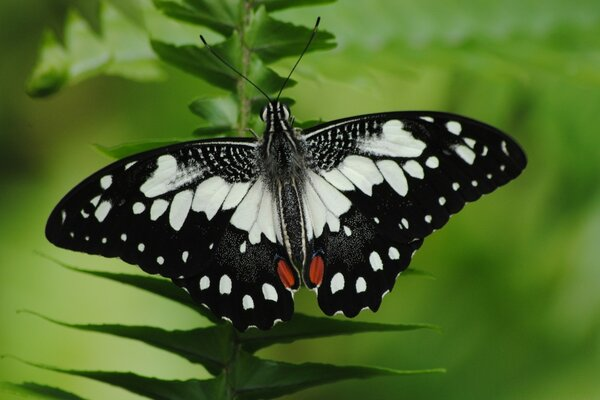 Black And White Butterfly Macro
