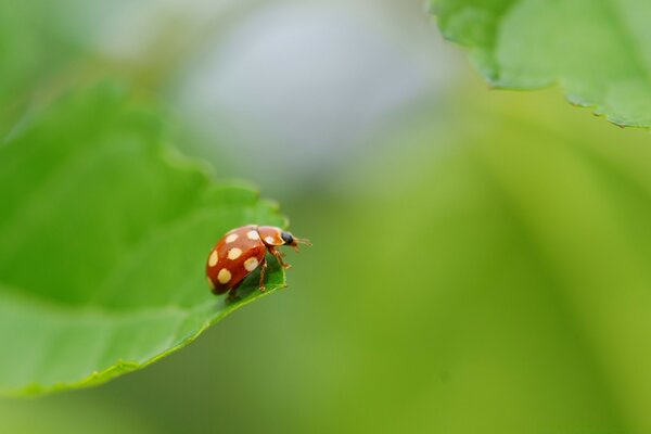 Ladybug With White Spots