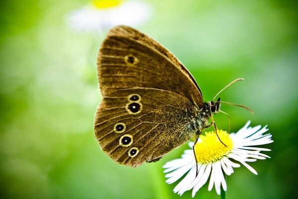 Butterfly On A Wild Daisy