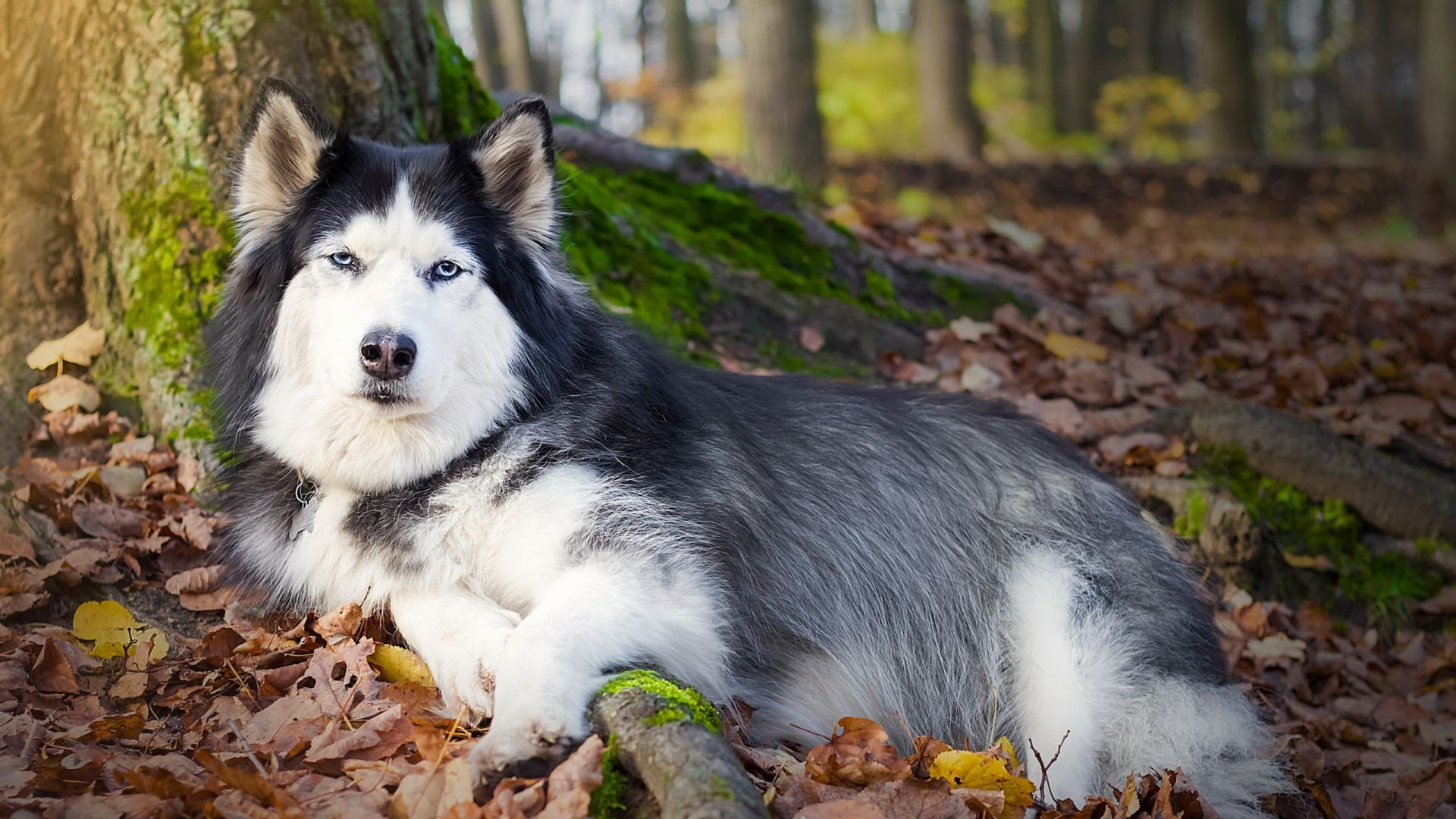 dogs dog mammal nature cute canine portrait outdoors animal fall wood pet wolf fur