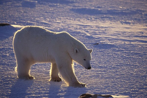 bear polar Arctic