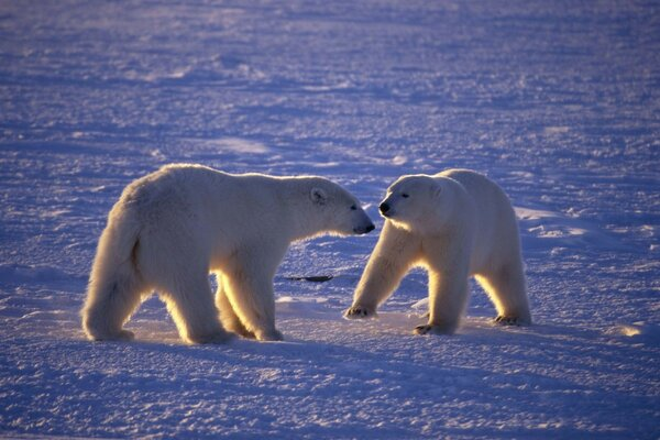 bears polar Arctic