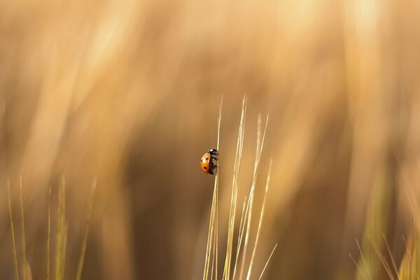 Ladybird On A Wheat Stalk