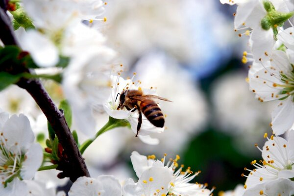 Bee On Cherry Flower