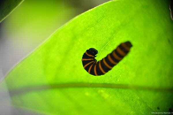 Caterpillar in a Leaf
