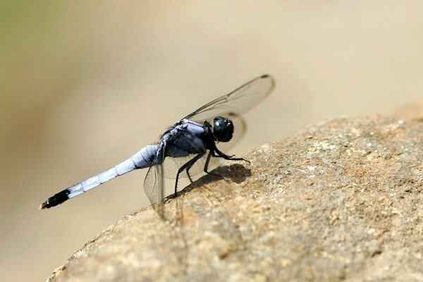 Dragonfly On The Rock