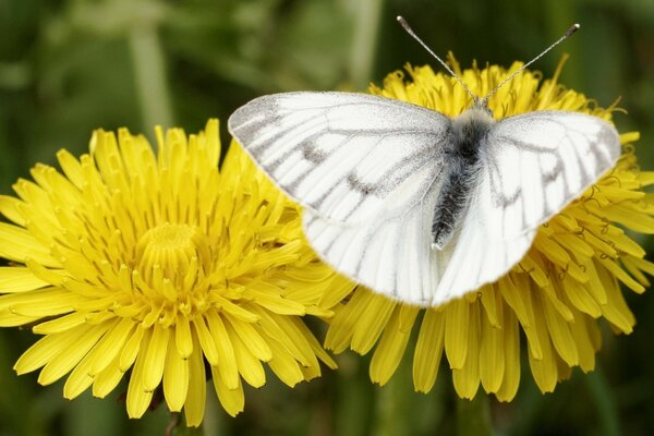 Dark Veined White, Bergweiling