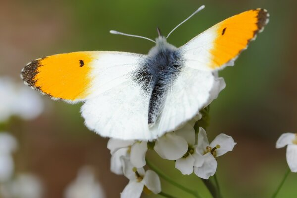 Orange Tip Butterfly, Aurorafalter
