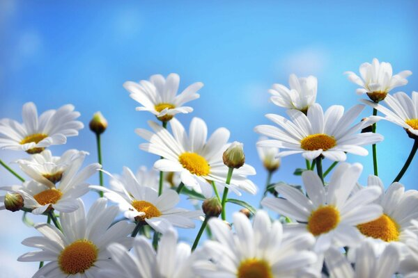 White daisies against the sky