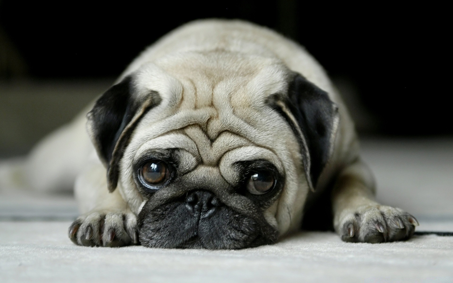 Pug IPhone Wallpapers For Free