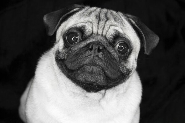 Pug In Black And White