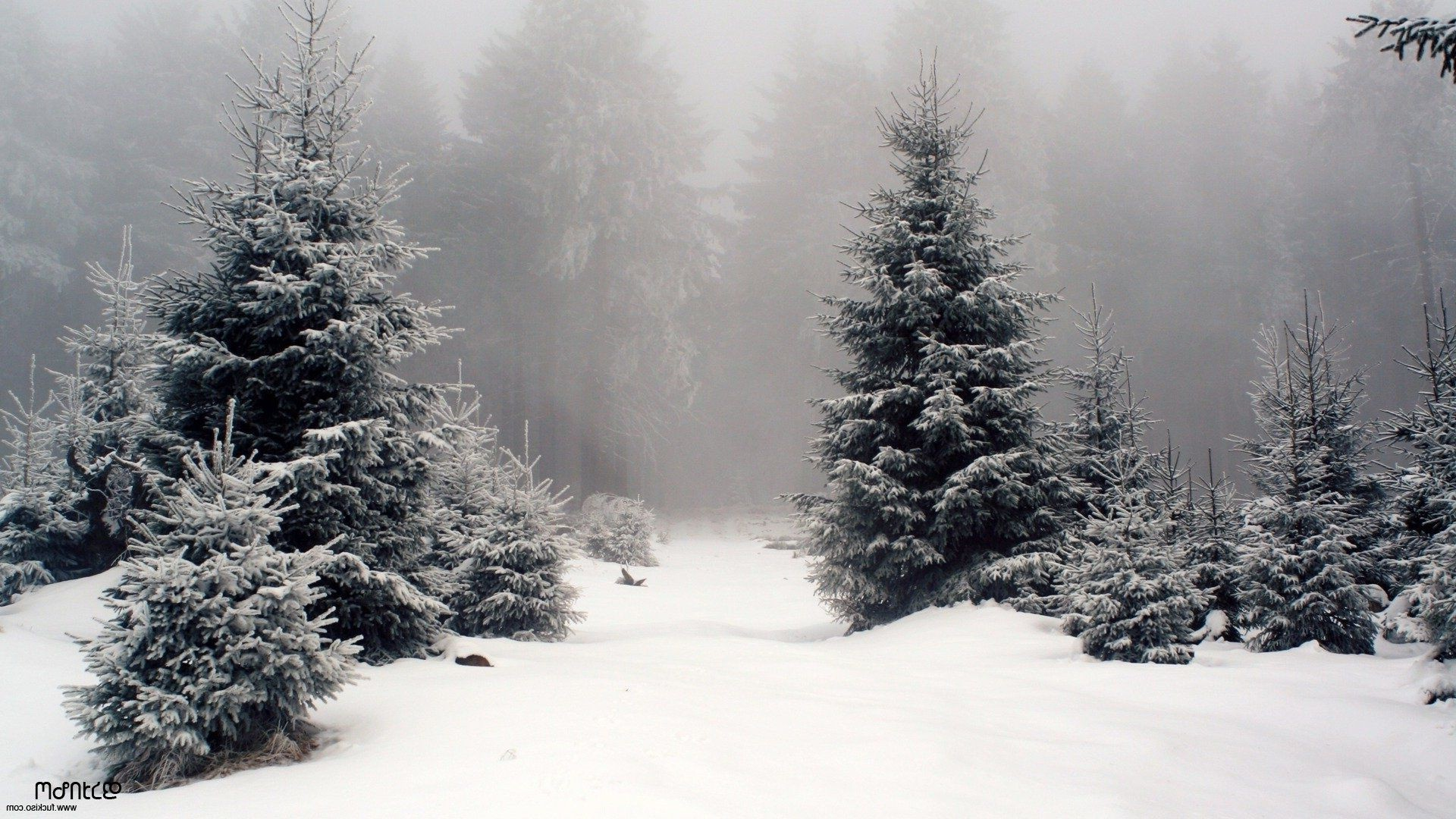 winter snow frost cold tree wood frozen fog pine ice weather fir spruce christmas snowstorm evergreen landscape conifer season
