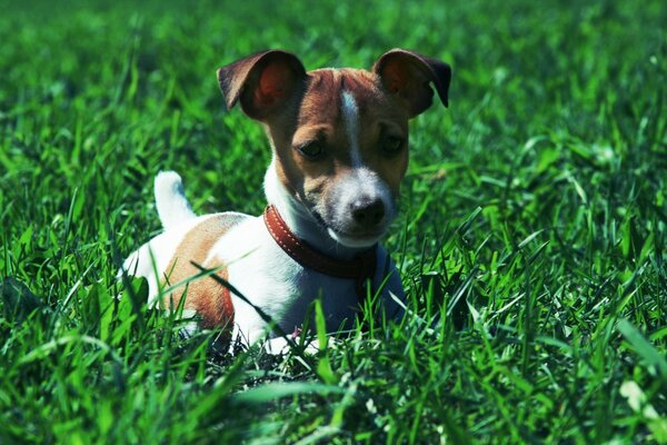 Jack Russell Terrier In The Grass
