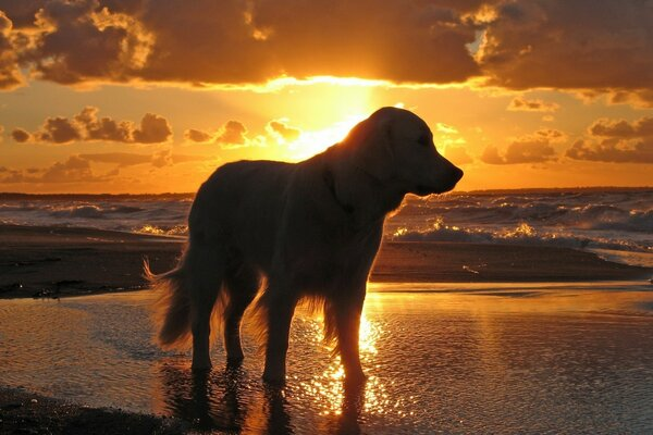 Retriever In The Sunset