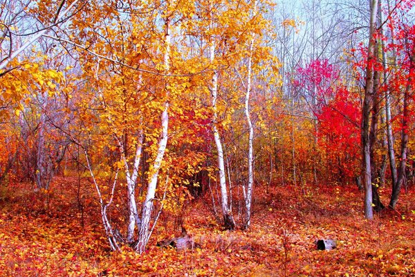crimson gold red autumn October Kokshetau forest of bere