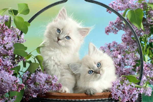 Beautiful Burmese Kittens