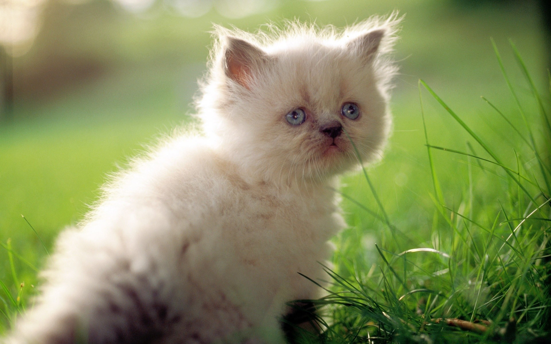 White Persian Kitten With Blue Eyes Android Wallpapers