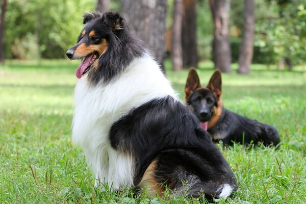 collie shepherd Dog dog