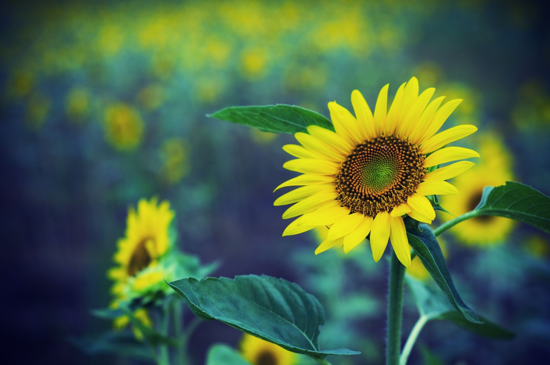 sunflowers nature summer leaf flora flower sunflower growth bright fair weather sun outdoors field color rural